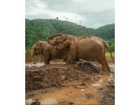 遭奴役80年終重獲自由 2頭大象直衝新家泥巴堆