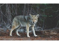 只是開門讓毛孩透氣 4歲小博美遭西班牙「灰狼」咬死!