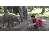 聽見有人討抱抱 清邁2個月大小象「泰拉」熱情飛撲緊擁