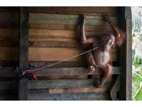紅毛猩猩成小孩玩具...遭鎖廚房置物板 躺著睡覺都困難