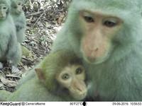 苗栗「貓公坑」拍石虎 獼猴睜大眼對感應相機猛放電