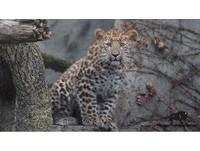 「鐵穆兒」眼睛圓又大 伊利諾伊州成功復育瀕絕遠東豹