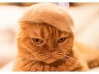 頭戴橘毛變霸氣「川普貓」 高高毛帽竟然都是____做的