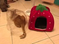 貓咪狠把「草莓屋」打入冷宮 媽媽QQ:你們傷了我的心