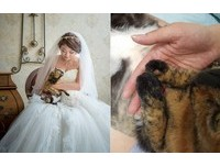 才拍完婚紗...玳瑁貓「小櫻」急性腎衰 在媽咪訂婚日告別