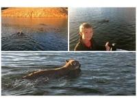 貓討厭水?父子發現2美洲獅游泳渡湖 貓爬式速度快又萌
