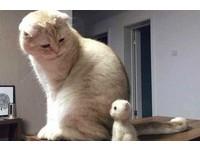 掉太多毛..主人做玩偶 黃貓驚呆「我什麼時候生的?」