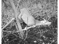 梅花鹿身體半懸空痛苦哀鳴掙扎 安徽老王抓野豬害死牠