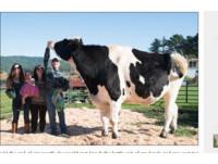 比一般牛大4倍!190cm「高富帥」乳牛 挑戰世界紀錄