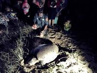 大海龜上岸❤雙腳揮揮產127顆蛋 保育員滿臉沙跪地藏