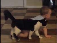他爬一步、牠跟一步!乳牛貓細心守護寶寶 畫面超有愛