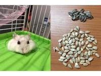 小倉鼠偷藏「80顆」去殼葵花籽 冬眠要吃...被發現了啦!