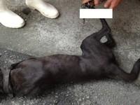 黑狗誤踩捕鼠器痛到躲車底 農牧科幫忙麻醉救回腿