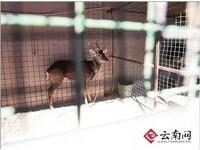 雲南山寨動物園「大遷徙」 鴕鳥、梅花鹿到新家過好日子