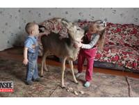 小鹿嬰兒奶粉餵大!就想在家討摸摸 開特例「不野放」