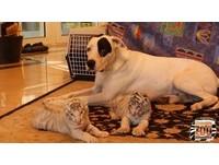 溫柔狗爸養孟加拉虎寶寶 趴身邊守護「父子」動作超像