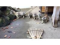 掃把居然會動!日本一群呆萌狐獴被嚇的倒退定格