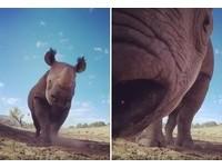 呆萌黑犀牛聞出攝影機1秒倒退嚕 網友笑翻:牠有近視