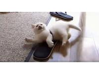 白貓受困夾腳拖 仰天踢腳扭腰擺臀求掙脫