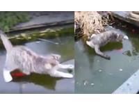 怎麼吃不到!萌貓「冰上捕魚」 滑來滑去餓肚惱羞