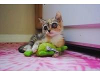 4周小貓長出碩大「青蛙眼」 擄獲鏟屎官陪牠抵抗病魔