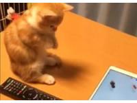 想跟金魚當朋友 小萌貓站著雙手合十:拜託~跟我玩嘛