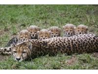 6隻小獵豹躲懷裡偷看鏡頭 1年後「複製貼上」誰是媽?