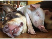 就是愛跟狗玩!澳洲小豬花費心力 終交到汪汪麻吉渡過低潮