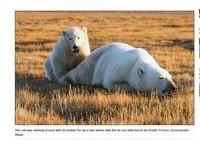 貪吃北極熊舌卡鐵罐2周才得救 為了喝牛奶受罪好心疼