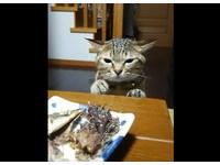 貓咪想吃魚又怕挨罵猶豫超久… 下定決心突擊瞬間吃鱉!