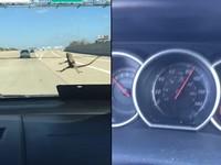 地表最強蜥蜴!車速飆到130公里 牠緊貼擋風玻璃不放