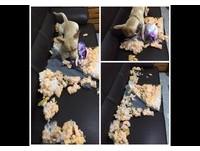 回家驚見「鯊魚狗」案發現場! 把沙發咬成「爆米花」了