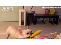 法鬥拍「假狗挑戰」 咬玩具定格緊盯主人:陪我玩!