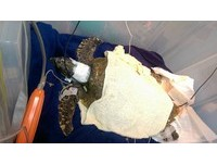橡皮筋、筆蓋...海龜「小利」滿肚塑膠 急救4天後死亡
