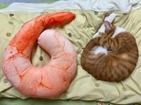 看什麼學什麼! 貓咪一秒變成主人的蝦仁抱枕