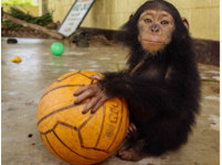 塞背包走私的小猩猩「把籃球當家人」 現在有姐姐疼了