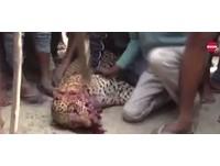 印度豹覓食闖村莊傷9人 百人拖行毆打「七孔流血」亡