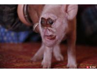 貴州母豬生的「猴崽臉」 叫聲淒慘不會吸奶