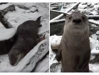 不想走路啦!超懶水獺直接「融化」 趴地用肚肚滑雪