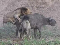 獅群搶食水牛內訌打群架 牛:「我想這裡沒我的事了」