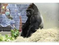 金剛猩猩迪亞哥睡覺要鋪床、抱綠色毯毯 獸醫也稱奇