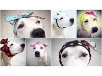 受虐比特犬右耳消失剩半邊臉 網捐手工帽遮疤還牠漂漂