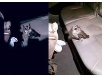 電眼領角鴞「撞進」車裡昏倒 網:霍格華茲送信來了!