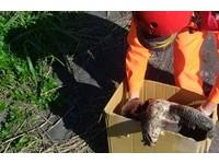 宜蘭岸巡人員直擊黑土狗咬死亡綠蠵龜 屍體被咬到步道