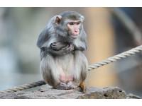 30隻恆河猴3D列印血管存活率100% 3到5年應用至人體