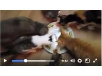 6隻貓寶寶滿心期待吃飯飯 發現空盤傻眼狠瞪