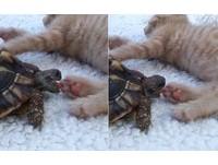 烏龜狂啃小橘貓的粉紅色肉球 你當這是在吃草莓嗎~