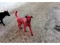 超惡質!爛人虐狗漆成粉紅色 浪浪中毒狂吐險丟命