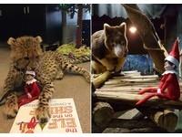 聖誕人偶坐懷裡 小獵豹淡定一咬:這什麼能吃嗎?