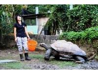 好冷!230公斤象龜「愛吃不怕流鼻水」 餵一口走一步